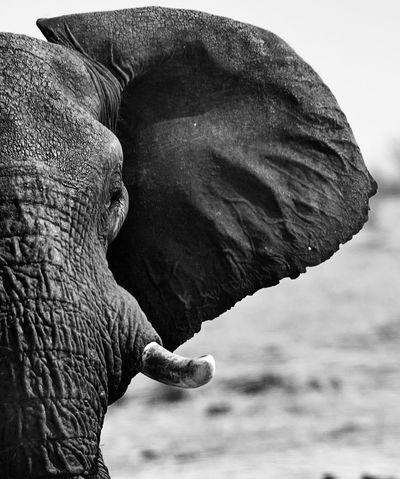 Day Elephant Elephant Ear Elephant Tusks Hwange National Park Midsection Nature Outdoors Pachyderm Tranquil Scene Wildlife & Nature Wildlife And Nature Wildlife Photography Zimbabwe Mammal Animals In The Wild Animal Wildlife Animal Themes African Safari Tusk One Animal African Elephant Animal Trunk African Elephants