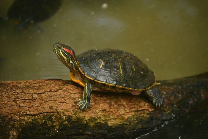Red eared slider on the woods... Reptile One Animal Animal Themes Animal Wildlife Tortoise EyeEm EyeEm Best Shots - Nature EyeEm Nature Lover EyeEm Masterclass EyeEm Week Wildlife Photography, Nature Photography EyeEm Gallery Animal Photography Nature Photography EyeEmBestPics Red Eared Slider Turtles Beautifull Animals Week On Eyeem Tortoise Shell Turtle Cuteness