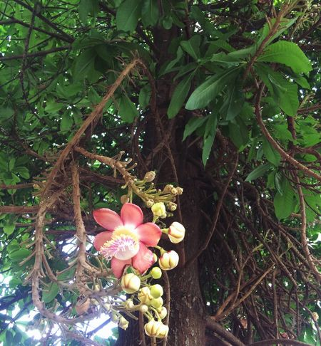 Buddha Flowers History Growth Flower Freshness Nature Fragility Beauty In Nature Petal Plant Leaf No People Blooming Tree Outdoors Green Color Day Close-up