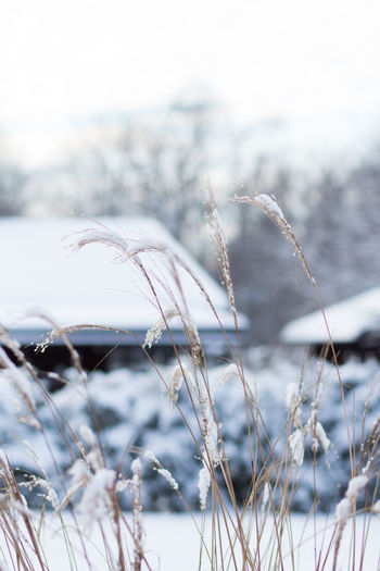 Winter Snow Cold Temperature Focus On Foreground Plant Nature No People Day Tranquility Beauty In Nature Close-up Frozen Growth Selective Focus Outdoors Grass Land Tree Field Ice Dead Plant Sweden Nature