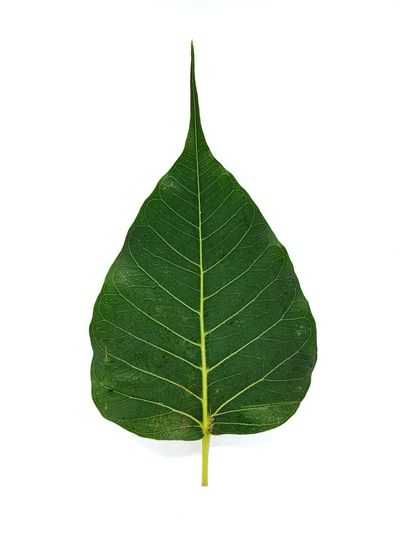 Bodhi tree leaf on white background. Leaf White Background Cut Out Green Color Nature Close-up Studio Shot Beauty In Nature No People Bodhi Leaf Pipal Buddhist