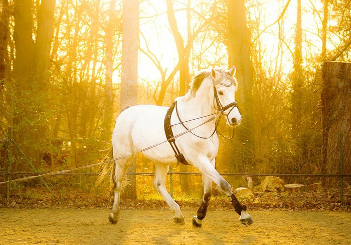 Sunset Perfect Light Horse Photography Equine Photography Lunging Horsephotography