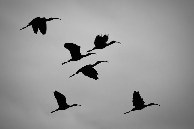 Low angle view of silhouetted birds flying against clear sky