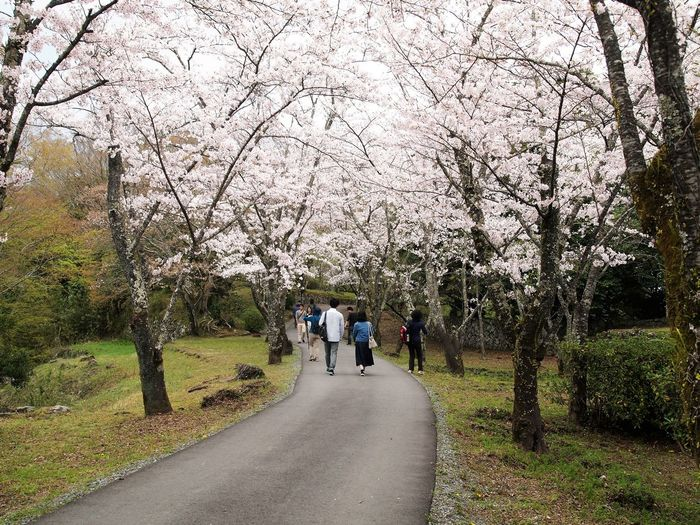 Beauty In Nature Cherry Blossoms Flower Full Length Growth Japan Oita Taketa Nature Outdoors Real People Rear View The Street Photographer - 2017 EyeEm Awards The Way Forward Tree Two People Walking