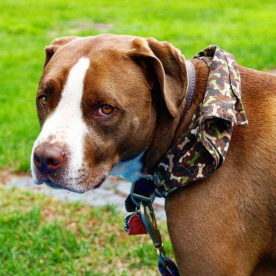 Brody boy :) Dog The Portraitist - 2015 EyeEm Awards Animal Photography Sonya3000 Enjoying Life EyeEm Best Shots Maine🇺🇸 Portrait Animal Portrait Animal Posing