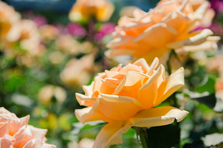 yellow roses Flower Flowering Plant Beauty In Nature Plant Vulnerability  Fragility Freshness Petal Close-up Flower Head Inflorescence Growth Focus On Foreground Orange Color Nature No People Day Outdoors Rosé Botany