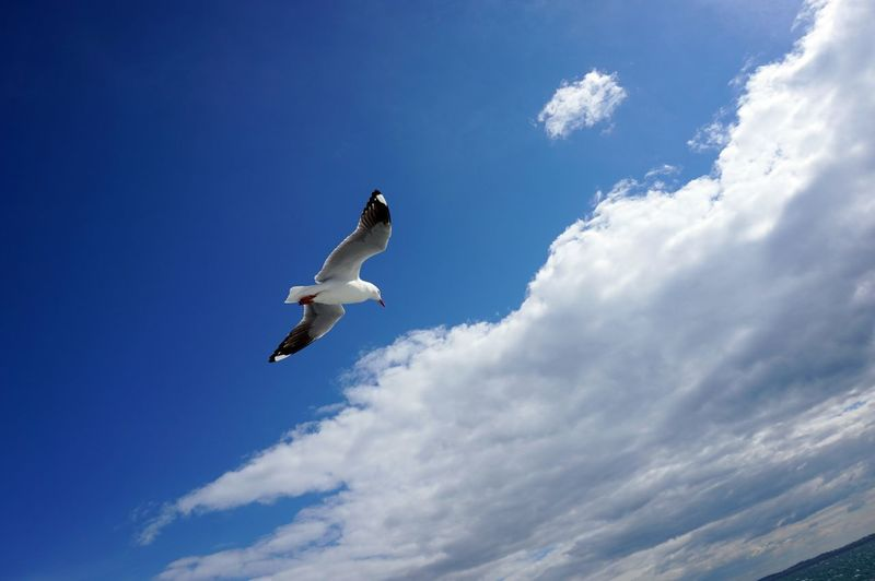 Animal Themes Animal Wildlife Animals In The Wild Beauty In Nature Bird Cloud - Sky Day Flying Full Length Low Angle View Mid-air Nature No People One Animal Outdoors Seagull Sky Spread Wings Swan EyeEmNewHere