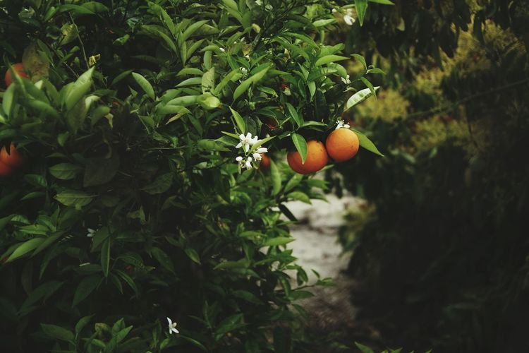 Orange - Fruit Tree Nature Green Color Plant Outdoors Agriculture Day Orange Beauty In Nature No People Close-up First Eyeem Photo Tranquility EyeEmNewHere Backgrounds Orange Flower Agriculture Dof Bokeh Photography Flower Rural Scene Fruit Food Naranjas