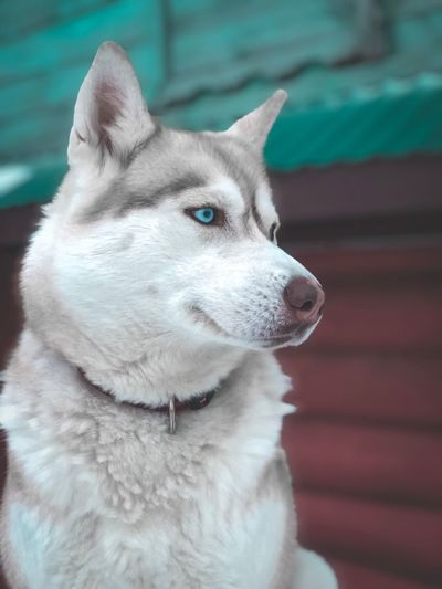 One Animal Dog Canine Pets Domestic Domestic Animals Animal Themes Mammal Animal Vertebrate Looking Away Focus On Foreground Close-up Looking Day No People Animal Body Part Sled Dog Animal Head  Siberian Husky