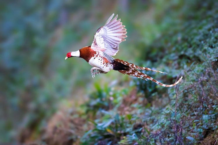 白颈长尾雉:飞跃 Bird Of Prey Bird Spread Wings Flying Mid-air Animal Themes Close-up