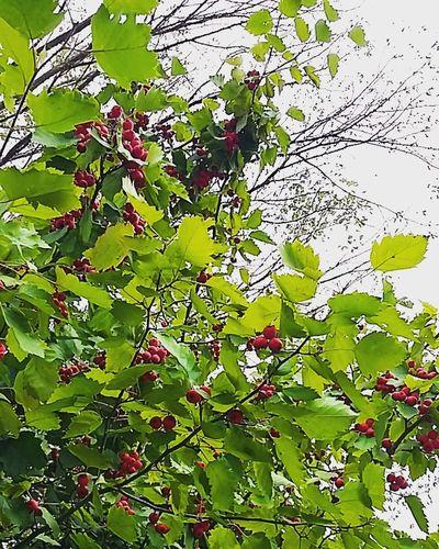Nature Berries September 2016 Hamburg