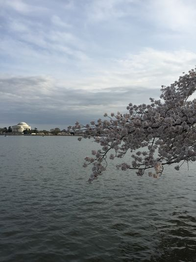 Beauty In Nature Cloudy Day Growth Jefferson Memorial Nature No People Outdoors Scenics Sea Sky Tidal Basin Tidal Basin Cherry Blossoms Tranquil Scene Tranquility Tree Water Waterfront