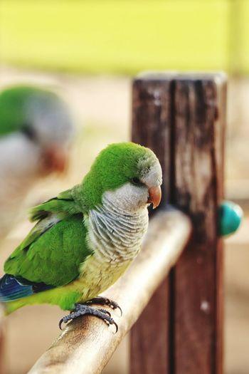 Bird Perching Pets Parrot Budgerigar Close-up