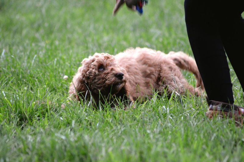 Low section of dog on field