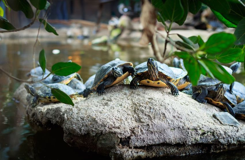 Turtle gang Shell Tortoise Turtle Animal Themes Animal Animal Wildlife Animals In The Wild Reptile One Animal Vertebrate Water Nature Solid Rock - Object Rock No People Day Focus On Foreground Amphibian Leaf Plant Part
