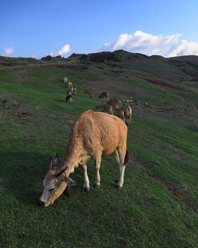 Cow at Merese
