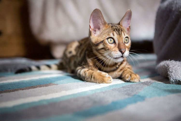 Animal Themes Bedroom Bengal Bengal Cat Bengals Cat Close-up Cute Day Domestic Animals Domestic Cat Feline Indoors  Kitten Mammal No People One Animal Pets Spots Stripes Pattern Tabby Cat Tiger You