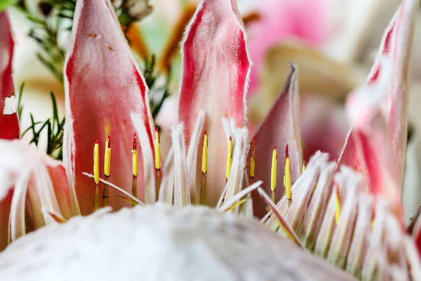 Protea Plant Flower Selective Focus Freshness Growth Beauty In Nature Flowering Plant Outdoors Petal Flower Head No People Pink Color Day Protea Protea Flower Proteas