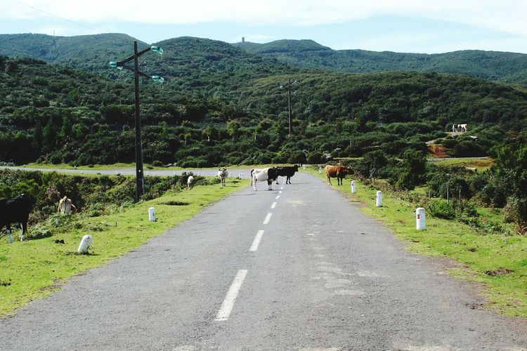 Road The Way Forward Nature Mountain Animal Themes Tree Growth Outdoors Landscape Beauty In Nature Green Color No People Day Scenics Sky Domestic Animals Mammal Cows Canceled Impossibility Wrong Way Blocking My Way Freshness Nature Beauty In Nature Adapted To The City