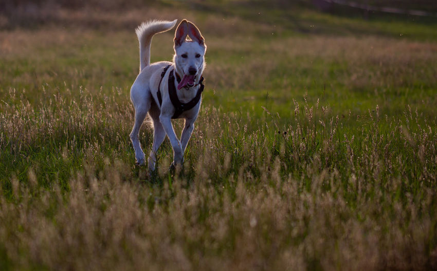 Dog running in a field