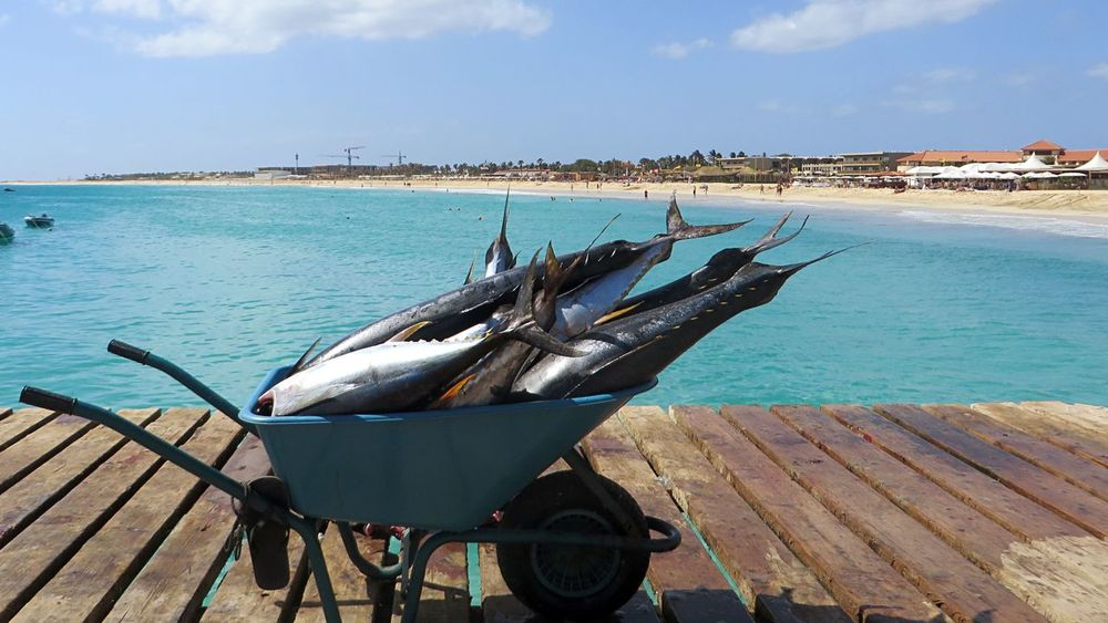 Fisherman Catch of Tuna Fish on the Pier at Ilha Do Sal Cape Verde Cabo Verde Fishermen Fishing Tunafish Tunas Fishing Time Food Lifestyle Santa Maria