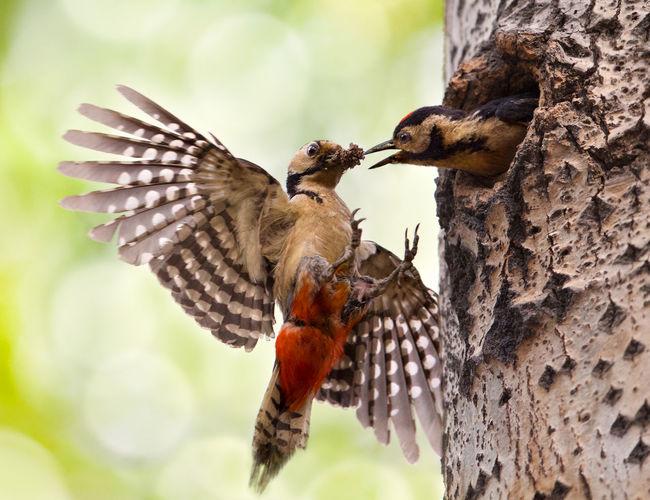 Woodpecker feeding young bird on tree