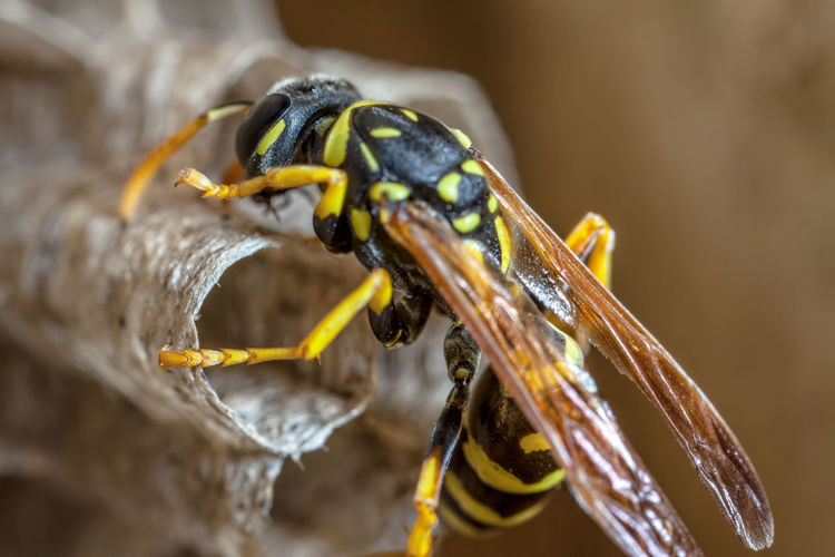Paper Wasp building Nest Macro Photography Nesting Paper Wasp Animal Themes Animal Wildlife Animals In The Wild Close-up Day Focus On Foreground Insect Macro Nature Nest No People Oculii One Animal Outdoors Paper Wasp Nest