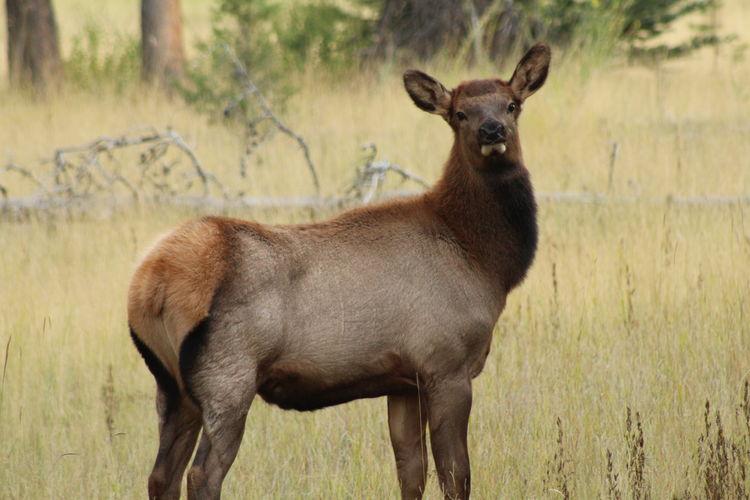 elk Elk Canada