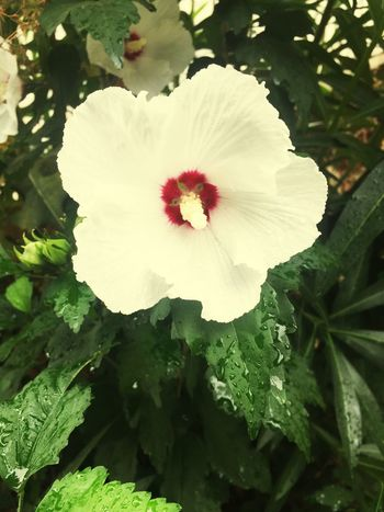 Flower Petal Fragility Beauty In Nature White Color Nature Plant Single Flower Bloom