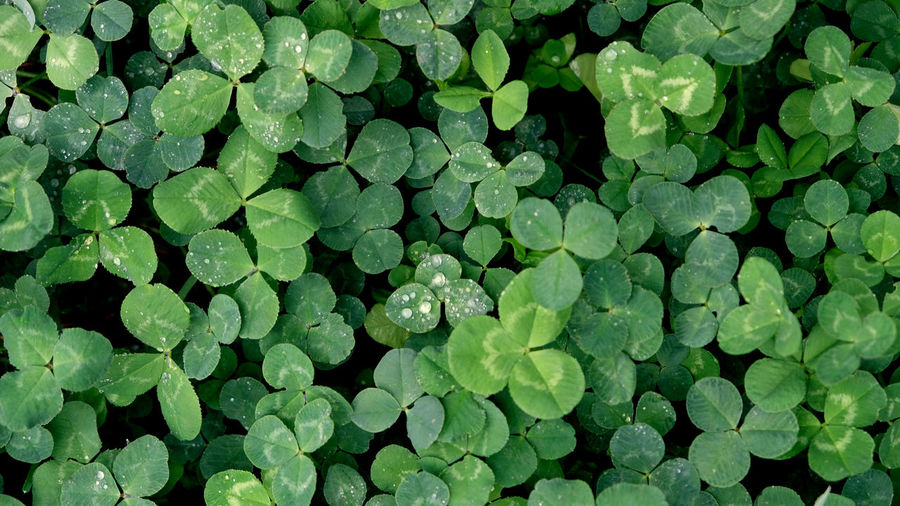 Top view of green clover leaves with water drops from rain or morning dew. natural background.
