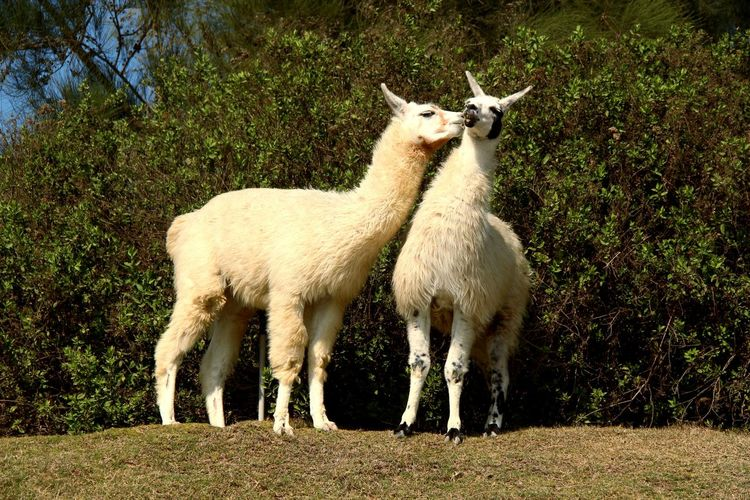 EyeEm Selects Animal Themes Domestic Animals Day Outdoors Llama Mammal Togetherness Nature Beauty In Nature Nature Green Plant Couple Love White Africano Park Alexandria Egypt
