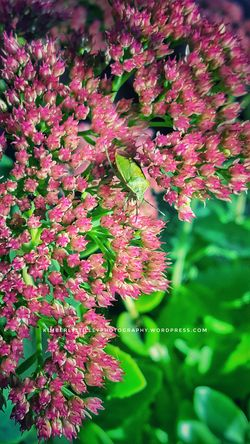 A Shield Bug in a Sedum Crystal Pink plant. This is a great plant for pollinators, and it does tolerates dry conditions. They sprout well and you can transplant new growth to different locations. Flower Nature Plant Outdoors KimberlyJTilley Bug Insect Close-up Leaves Garden