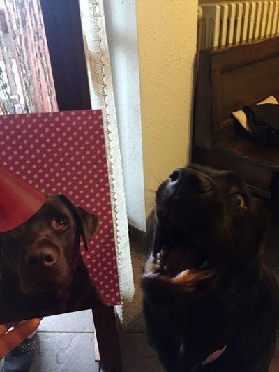 Non mi prendere in giro! Labrador Labrador Retriever Ilmiocane Copia_originale Labradorchocolate