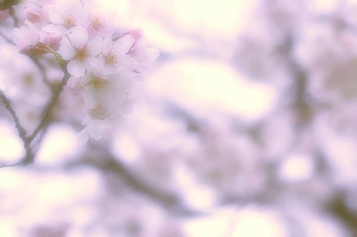 まどろむ時 Relaxing Bokeheffect Macro Nature Flower Collection Spring Colours Blue Pink Spring Time Japan Colors Spring 春 EyeEm Nature Lover Blossom 桜 Sakura Cherry Blossoms Bokeh Airy Flowers Dreamfantasy Hazy Days