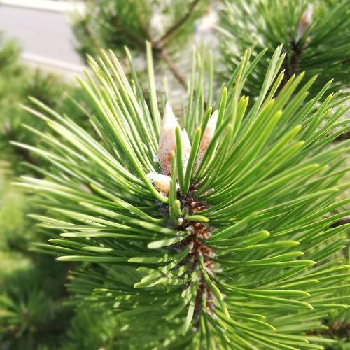Choineczka Tree