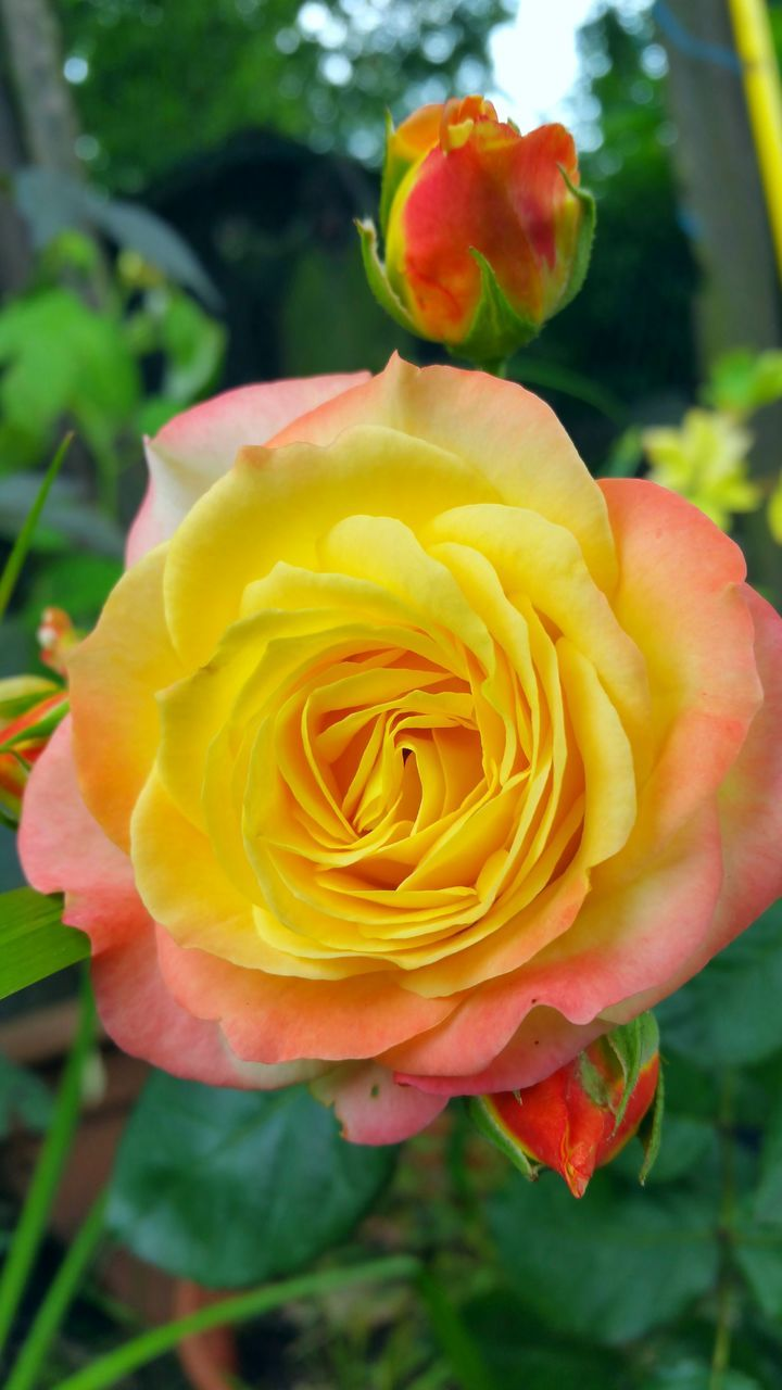 flower, growth, petal, nature, beauty in nature, plant, blooming, love, rose - flower, flower head, no people, yellow, freshness, fragility, beauty, outdoors, close-up