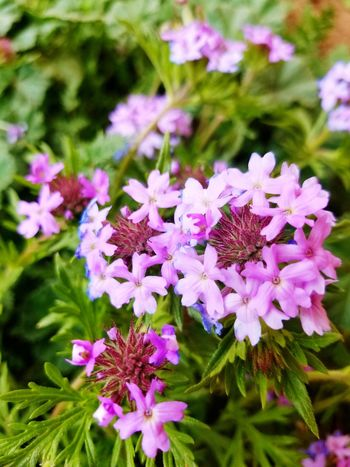 Flower Purple Plant Nature Petal Outdoors Pink Color Spring Time Summer Spring Flowers Blooming Leaf Flora