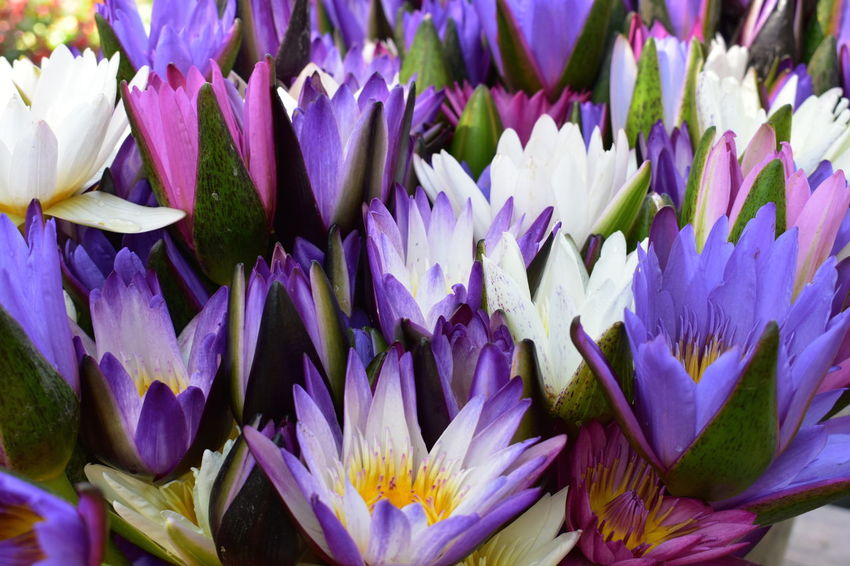 natural colorful lotus blooming flowers Beauty In Nature Close-up Day Flower Flower Head Fragility Freshness Growth Nature No People Outdoors Petal Purple Tropical Colorful Lotus Flowers