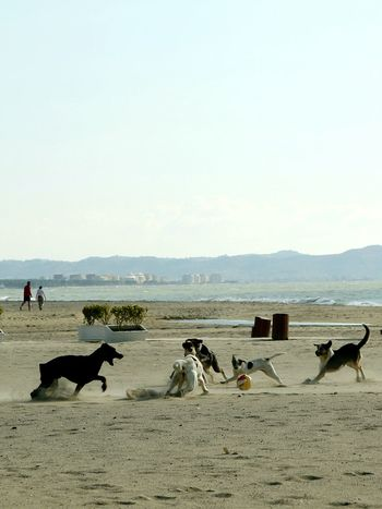 Dogs Playing Beach Holiday Sea Large Group Of Animals Domestic Animals Water Sand Seashore Nature