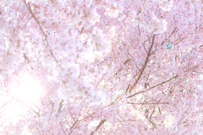 Beautiful Nature Bokeh Bokeh Photography Cherry Blossoms Dramatic Sky EyeEm Gallery EyeEm Nature Lover Flower Collection Flowers Getting Inspired Beautiful Cherry Blossom Light Light Pink Nature's Diversities Spring Spring Flowers Sun Shine And Flowers Sunshine Taking Photos Tokyo,Japan Trees Urban Spring Fever Ultimate Japan