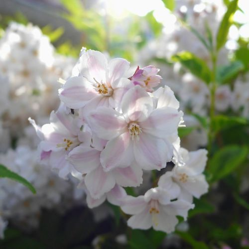 Blooming Blossom Botany Close-up Day Flower Flower Head Flowers & Leaves Fragility Freshness Growth In Bloom Nature No People Outdoors Petal Pink Color Plant Pollen Selective Focus Spring Stamen Sunny Day Twig White Color