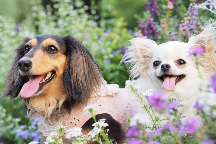 Dogs Of EyeEm Dachshund 愛犬 Dog チワワ Chihuahua Flowers 花 Smile 😚 ツーショット ミニチュアダックス