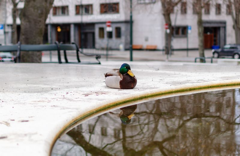 mirror Duck Ducks Animal Reflections In The Water Reflection Water City Bird Architecture Drinking Fountain Fountain Puddle Water Bird Standing Water
