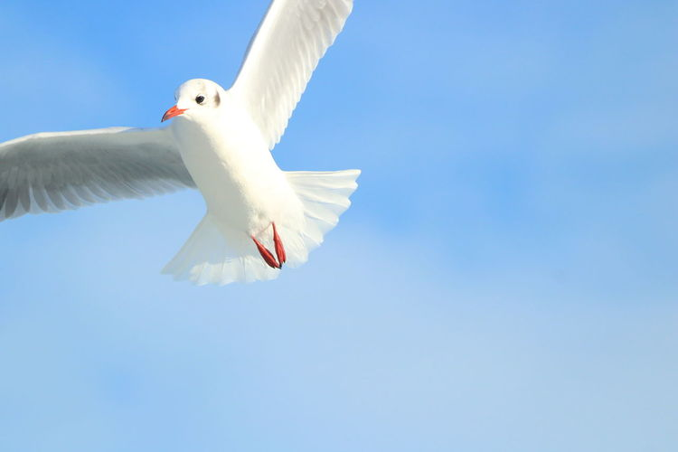 Apulia Italy Italia Puglia Adriatic Sea Animal Themes Animals In The Wild Bird Black-headed Gull Blue Clear Sky Day Flying Giovinazzo Low Angle View Mid-air Motion Nature No People One Animal Outdoors Sea Bird Seagull Sky Spread Wings White Color