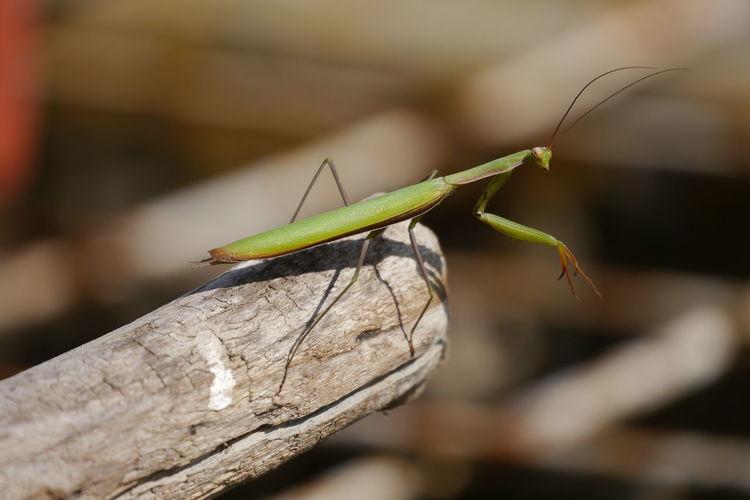 Close-up of praying mantis on bamboo