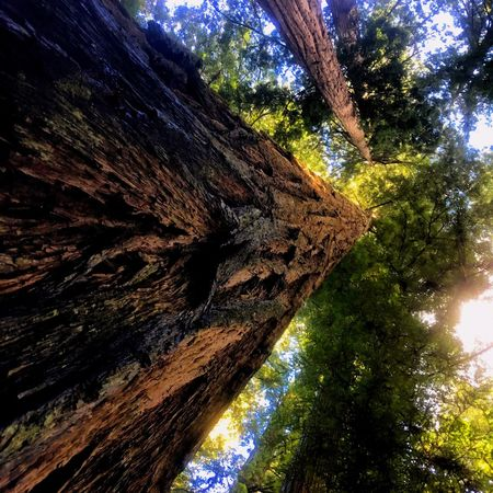 Tree Tree Trunk Low Angle View Nature Beauty In Nature Growth Day Rough Tranquility No People Rock - Object Textured  Sunlight Bark Outdoors Mountain Scenics Forest Sky Redwood Trees Crescentcity Oregan Coast Harbor Brookings EyeEmNewHere