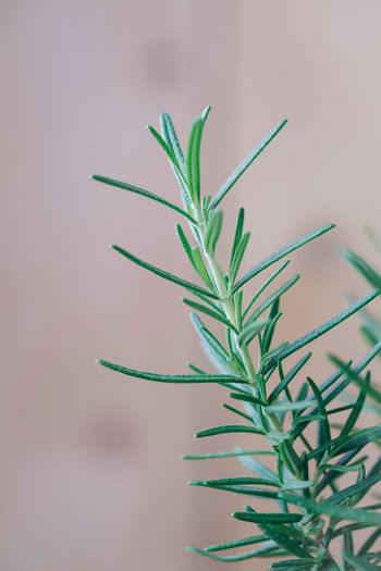 Close-up of rosemary potted plant