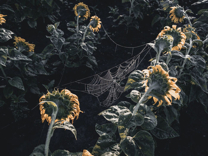 Close-up of wilted spider web on plant