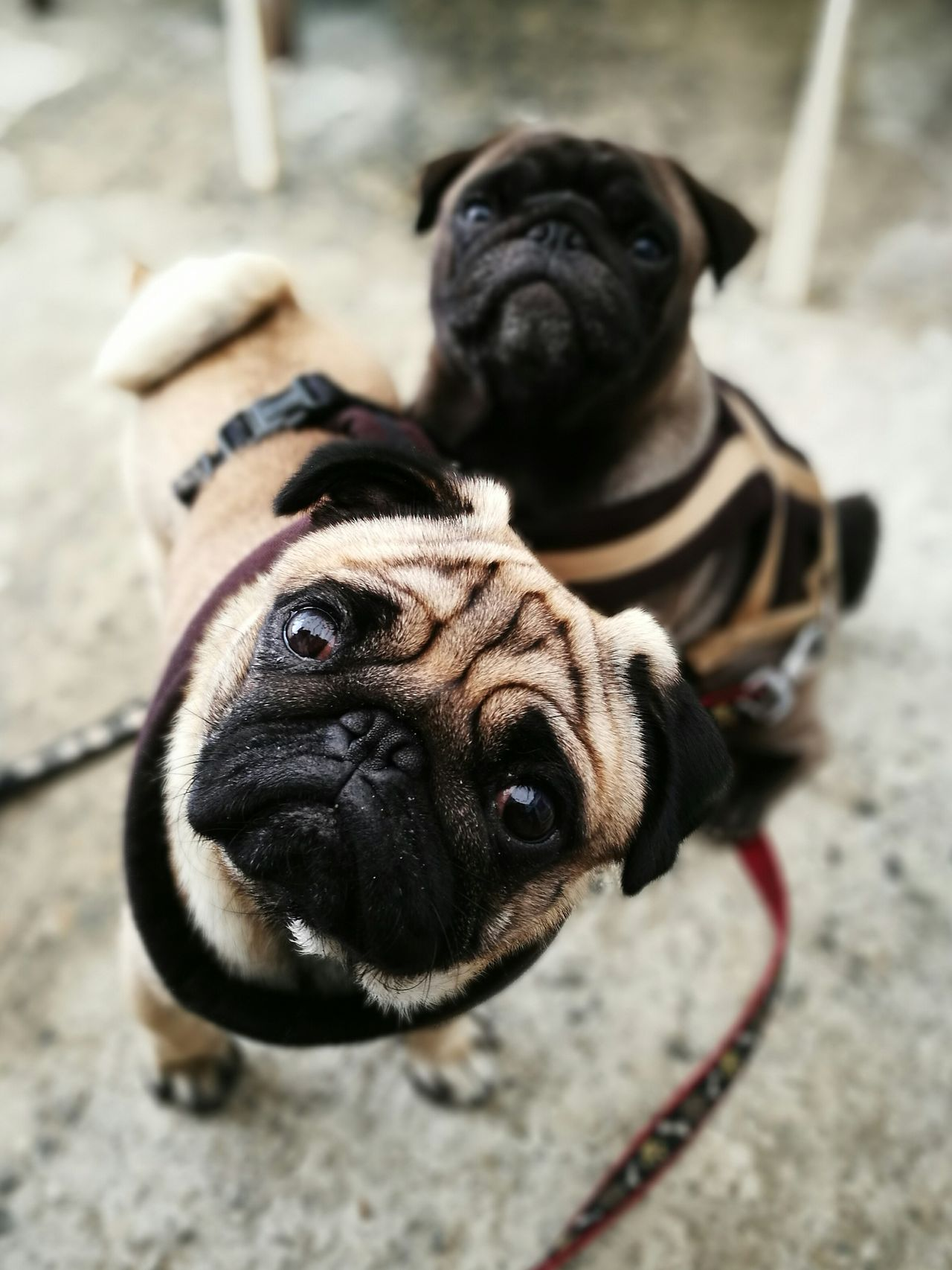High angle portrait of pugs