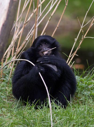 Portrait of black monkey sitting on grass